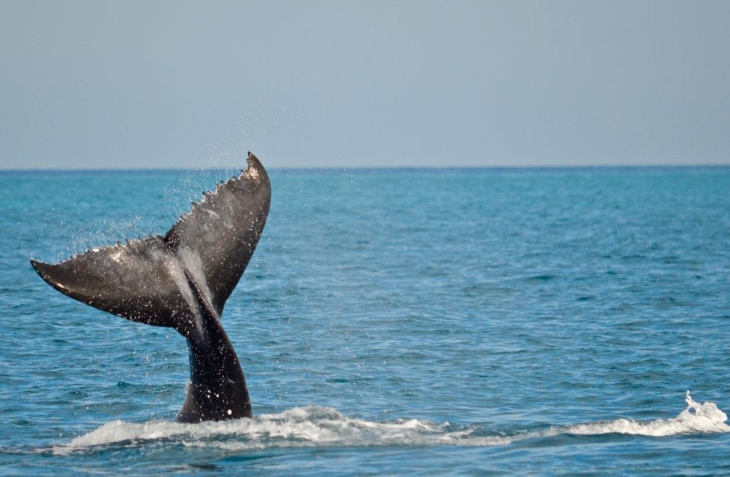 Whale Watching, Blue Dolphin Tours Hervey Bay