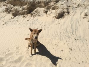 how to stay safe around dingoes