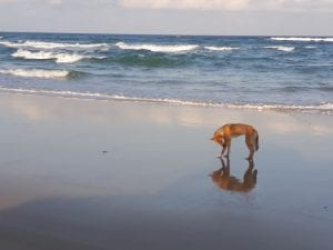 Dingo on a beach