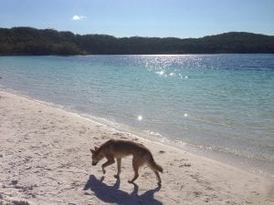 Dingo By Lake Mckenzie