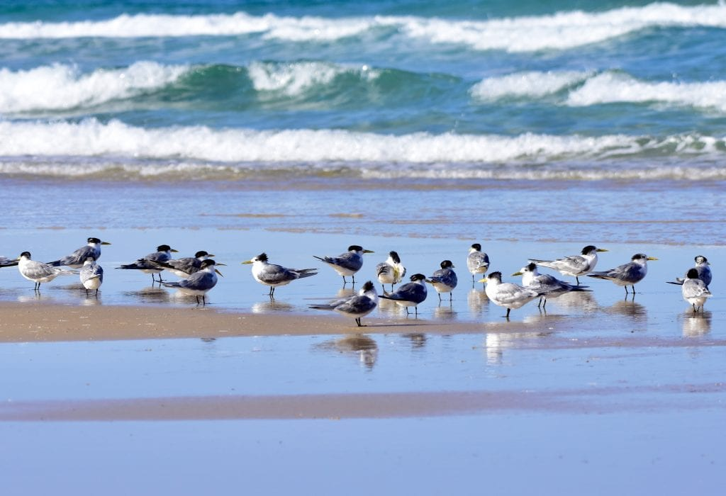 Crested Terns Flock