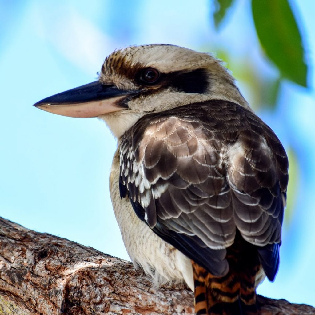 Laughing Kookaburra 1